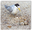 Least Tern and nest